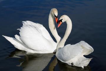 Romantic swan couple.