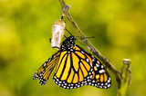 Monarch Butterfly Birth