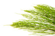 Field Horsetail on White Background