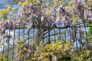 flowering lilac wisteria on metal hence