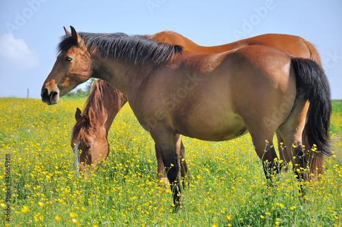 chevaux dans prairie fleurie