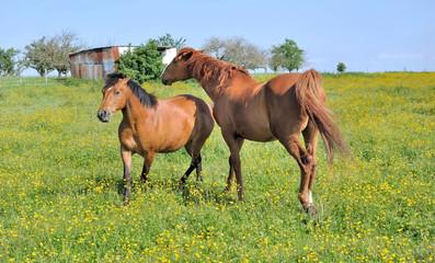 horses in flowery meadow