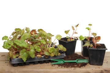 Summer bedding plants