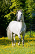 White horse runs trot in summer