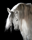 white Andalusian horse on the dark background