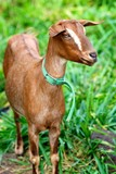 Goat with a collar