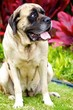 English Mastiff Sitting