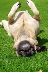 Rolling Mastiff