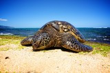 Sea Turtle on land