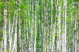 Fototapety Birch forest. May