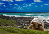 Fototapety Large turtle at the sea edge on background of tropical landscape