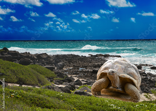 Canvas Afrika Large turtle at the sea edge on background of tropical landscape