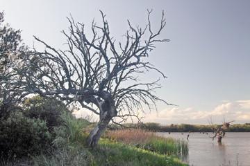 Encina seca en presa de Portaje, cáceres, España