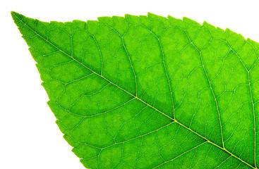 Green leaf. Macro image