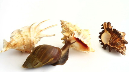 Giant snail choosing a shell on white background