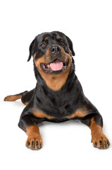 Portrait of young Rottweiler