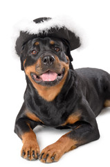 Young pirate Rottweiler