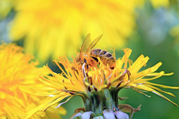 insect on yellow flower on spring field