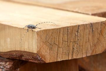 grey capricorn beetle