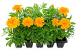 Tagetes flower seedlings