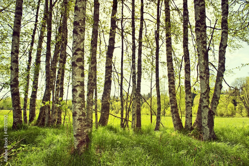 Foto op Plexiglas Berkbosje spring birch trees on a meadow