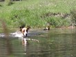 Jack Russel Terrier holt Stöckchen aus dem Wasser