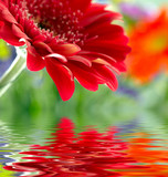Fototapety Closeup of red daisy-gerbera reflected in the water