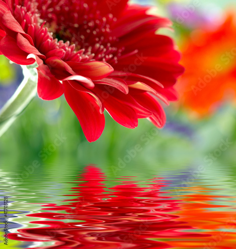 In de dag Gerbera Closeup of red daisy-gerbera reflected in the water