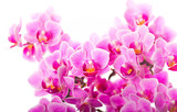 Fototapety orchid background