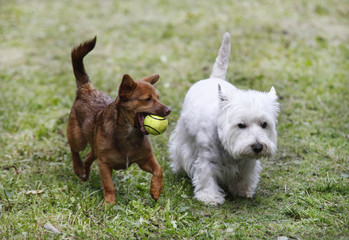 Two doggies playing with a ball - outdoor scene