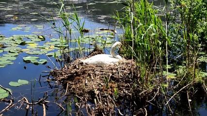 cigno nido lago cignus anatide