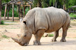 Large white (square-lipped) rhinoceros (Ceratotherium simum)