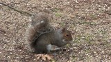 Grey squirrel scavenging for food in a wood, in England. poster