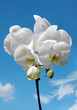 Blossoming white flower orchid
