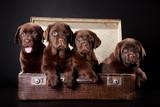 Fototapeta rasa - psów - Zwierzę domowe