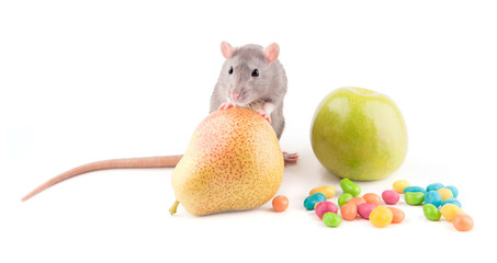 Rat with food isolated