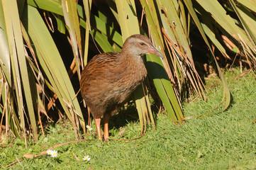 Weka, a flightless bird of New Zealand