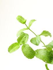 Fresh mint leaves on white background