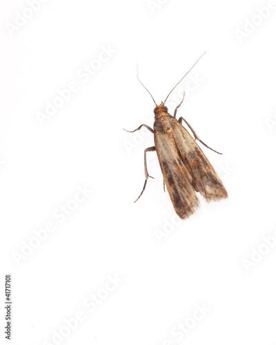Leinwanddruck Bild Lebensmittelmotte (Plodia interpunctella) auf weißem Hintergrun