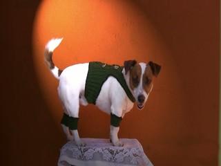 Jack Russel Terrier im steirischen Outfit