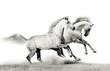 stallions running