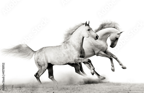 stallions running - 41718952