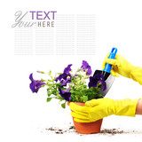 Petunias flowers in spot with woman hand
