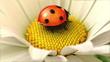 Daisy flower with a ladybird (swinging  flower version)