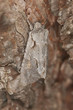 Moth camouflaged on pine, macro photo