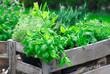 Leinwanddruck Bild - Fresh basil growing in crate
