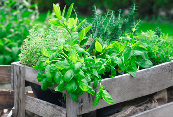 Fresh basil growing in crate