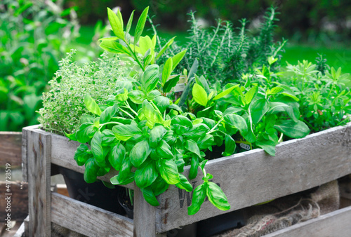 Fresh basil growing in crate - 41728519