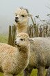 Alpaca mother and baby