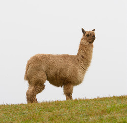 An Alpaca on the horizon